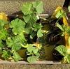 8月の種まき ウリ科三兄弟の定植