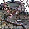 バラの芽は順調に大きく伸びています