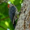 ベリーズ 都市や郊外で出会う野鳥たち