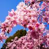 京都で日本の春に出会った