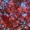 紅葉と黄葉?