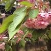 うちのボタン桜