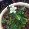 シルクジャスミンの開花