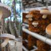 椎茸の原木栽培と菌床栽培の違い、正しく知っていますか?