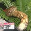 天草春マツタケ1本4万円で落札(熊本県)