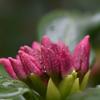 沈丁花のつぼみ