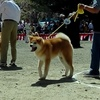 Akita Dog Exhibition (Odate city)