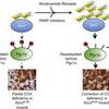 NAD+を増やしてミトコンドリア病を治す (Cell Metabolism 2014年6月3日号掲載論文)