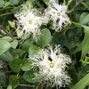 フルーツラインと烏瓜の花