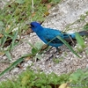 ベリーズ マヤ遺跡の青い鳥 Indigo Bunting(インディゴ バンティング)