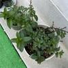 【家庭菜園】ゴーヤが芽を出しました!