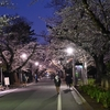 🌸谷中霊園 夕方の桜並木🌛