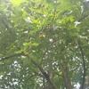 ヒポクラテスの木3