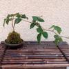 ブラックベリーの苔玉