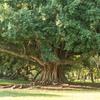 ボタニコの樹