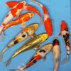 【数量限定】錦鯉Mix (LL) 鯉 色鯉 21〜25cm前後 10匹 ニシキゴイ 生体 川魚 【2点以上5000円以上ご購入で送料無料】