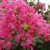 鮮やかな紅色に輝くサルスベリの花