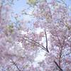 大漁に咲いた大漁桜