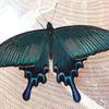 青と緑に輝く蝶 カラスアゲハ