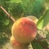小さい桃😆💓