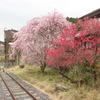 しだれ桜とハナモモとサッカー