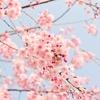 桜人が選ぶ美しい至高の桜写真・全都道府県別ランキング1位