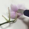 胡蝶蘭の押し花
