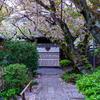 京都・西陣 - 雨宝院の散り桜