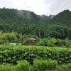 向日葵開花予想 7月20日です。