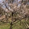 井の頭公園は梅が満開