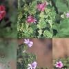 【ゼラニウム】〜香りの種類が豊富〜
