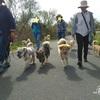 犬たちがボランティアに参加!
