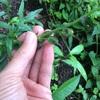 スナップドラゴン(金魚草)の種を採取する