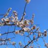今日の1枚 ~梅の花~