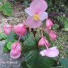 庭に秋海棠(シュウカイドウ)が咲きました♪