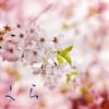 桜の花を見ると思う事をつれづれと