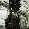 近所の桜にボヤキを聞いてもらう。