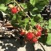 「マダム倶楽部」活動報告 これが美味しいイチゴだったらどんなに素敵なんだろう 6月22日