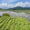中耕除草と日焼けと雨のウェンズデイに田植えを終えること