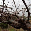 葡萄の剪定 いや再来年の Pruning grapes