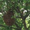 庭の木で蜂が分蜂を行なっていた話