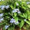 ムラサキ科ワスレナグサ属の散形花序 ?