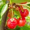 再会のうれしみの果実