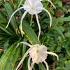 スパイダーリリーの開花、ハプランサスの花芽、バンウコンの開花、トルコキキョウの花、カトレア・ミニパープルの花、パンジー/ビオラの発芽