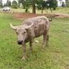 牧場主に喧嘩を売る水牛…タイ王国の東北部の話