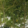 シマトネリコに潜むセミの大合唱とうちの猫話。