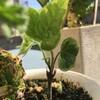 庭2021.2月末フキノトウ、キャラウェイ、クコ他とローズマリーの花