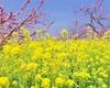 桃の花見も御坂農園