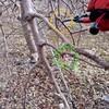 りんごの剪定作業が始まりました!④ 紅玉のわい化(20年生)&ジョナゴールドのわい化(40年生)