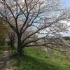 桜の嵐山ポタ